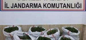 Jandarmadan 102 kilo dev esrar operasyonu Jandarma zehir tacirinin hasat yapmasını bekledi