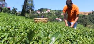 Çay bahçesine girerek tek tek elle topluyorlar Dünyada ilk kez Türkiye'de üretilen 2,5 yapraklı organik yeşil çay bu yıl 60 bin adet üretildi Tek tek elle toplanan 2,5 yapraklı organik yeşil çayda kapasiteyi arttırmak için harekete geçildi Geçen yıl 20 bin adet üretilen, bu yıl ise kapasitenin arttırılmasıyla 60 bin adete kadar çıkarılan 2,5 yapraklı organik yeşil çay için 2019 yılındaki hedef 100 bin adet olarak belirlendi