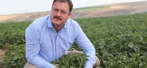 """Patates tohumunda yüksek verim bekleniyor Bitlis Tarım ve Orman Müdürü Asak: """"Türkiye'nin sertifikalı patates tohumunun yüzde 7'si Bitlis'te üretiliyor"""""""