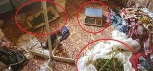 Hayvan ağılında kenevir yetiştirdiler İran uyruklu zehir taciri Denizli'de yakalandı