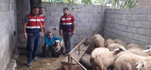 """Çalınan koyunlarına kavuşan kadının sevinci Jandarma tarafından bulunan koyunlarından birine sarılan kadın, """"Bu benim canım ya"""" diyerek sevincini dile getirdi"""