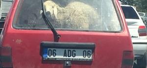 Koyun koyuna yolculuk