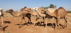 Şanlıurfa'da yetiştirilen kurbanlık develer alıcılarını bekliyor Kurban Bayramı'na saatler kala satışa çıkarıldı