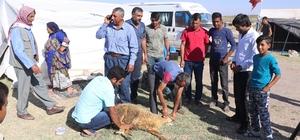 (Özel Haber) Urfalı tarım işçilerinin çadırda kurban kesimi