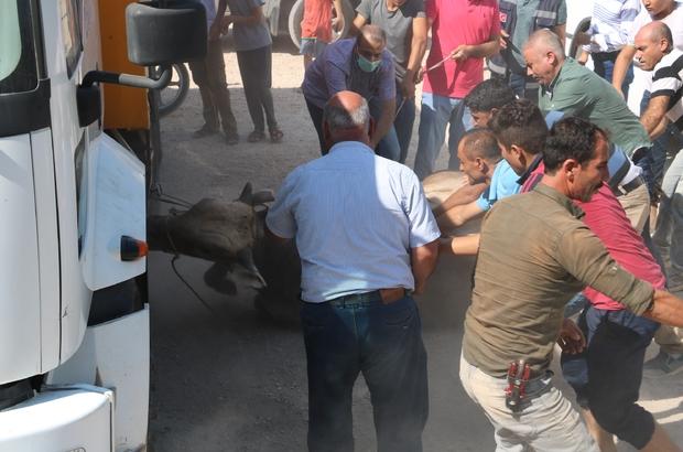 Şanlıurfa'da kaçan kurbanlıklar sahiplerine zor anlar yaşattı