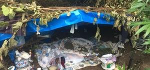 Sakarya'da boyları 2 metreye ulaşan hint keneviri ele geçirildi