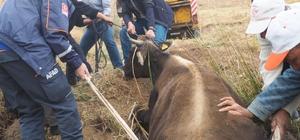 AFAD'dan inek kurtarma operasyonu 5 aylık hamile büyükbaş hayvan bataklıktan kurtarıldı