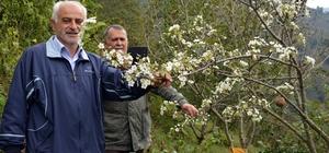 Ordu'da armut ağacı meyvesi üzerinde çiçek açtı Hem meyve hem de çiçek aynı anda ağaçta