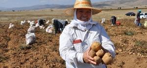"""Köse'de patates hasadı tarla günü yapıldı Gümüşhane'de patates rekoltesinin 45 bin ton olması bekleniyor Kuru tarımdan sulu tarıma geçilen bölgede ürün çeşitliliği artıyor Tarım ve Orman İl Müdürü Edip Birşen: """"2018 yılında ise 20 bin dekar alanda 45 bin ton patates hasadı gerçekleştirilmesi hedefleniyor"""" Üretici Tamer Tural, 160 dönüm arazisinde 3 çeşit patatesten 300 ton rekolte bekliyor Nevşehir'den gelen üretici Muhsin Altıntaş 5 yıldır Köse'de patates tarımı yapıyor"""