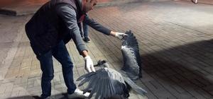 Bitkin vaziyette bulunan gri balıkçıl kuşu tedavi edildi