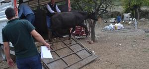 Genç çiftçilere manda desteği
