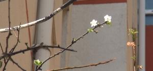 Kastamonu'da sıcağa aldanan meyve ağaçları çiçek açtı