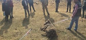 Aracın çarptığı ayı tedavi altına alındı Jandarma ekipleri, doğa ve hayvanların korunmasına yönelik çalışmalarını sürdürüyor