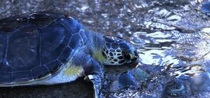 """Tedavisi tamamlanan deniz kaplumbağaları denize salındı Tarım ve Orman Bakanlığı 7. Bölge Müdür Vekili Mustafa Kandırmış: """"Merkezimizde şuanda 10 hasta deniz kaplumbağası bulunmaktadır. Tedavisi tamamlanan 3 deniz kaplumbağasının denize geri salımını gerçekleştiriyoruz"""""""