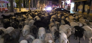 Şehir merkezinden koyun sürüsü geçti Tokat'ta yayladan dönen koyun sürüsünün şehir merkezinden geçişi ilginç görüntüler oluştururken, araç sürücüleri şaşkınlıklarını gizleyemedi