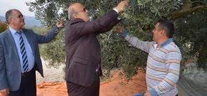 İznik'te zeytin hasadı başladı
