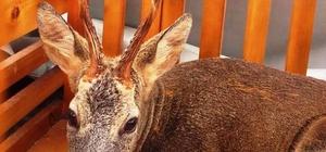Yaralı karaca tedavisinin ardından doğaya bırakıldı