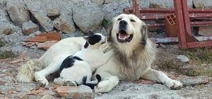 Köpeğe masaj yapan kedi şaşırttı Manisa'da kedi ve köpeğin kıskandıran dostlukları kameralara yansıdı