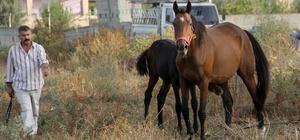 Çalındı denilen İngiliz atı ve yavrusu bulundu Adana'da dün gece çalındığı ve piyasa değerinin 400 bin lira olduğu belirtilen İngiliz atı ve yavrusunun kapısı olmayan ahırdan çıkıp kaybolduğu anlaşıldı