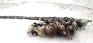 Doğu Anadolu'da yüksek kesimlerde kar yağışı etkili oldu Mezradan köye götürülen koyun sürüsü kar ve tipiye yakalandı