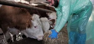 Kurduğu çiftlikte ithal ettiği hayvanlarla, yıllık 260 ton süt üretiyor Devlet desteği ile kurduğu tesise Slovakya, Slovenya ve Avusturya'dan  günlük 20 litre süt veren inek getirtip, sütçülük yapmaya başlayan 25 yaşındaki genç adam, yıllık 375 bin TL gelir elde ediyor Dede mesleğinin profesyonel olarak yapmaya başlayan Çelik, ileride hedefini piyasaya ucuz hayvan satışı yapmak olduğunu söyledi