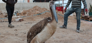 Yorgun düşen pelikana inşaat işçileri sahip çıktı Uçamayan pelikanı besleyen işçiler tedavisi için daha sonra Salihli Milli Parklar Şube Müdürlüğüne teslim etti