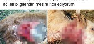 Adana'da kurtlar küçükbaş hayvanlara saldırdı
