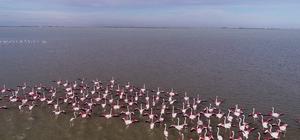 """Göçmen kuşların kışlık mekanı Çukurova Deltası flamingolarla renklendi Adana'nın Karataş ilçesindeki Akyatan Lagünü, on binlerce göçmen kuşa ev sahipliği yapıyor Kültür ve Turizm Müdürü Tari: """"Akyatan Lagünü dünyadaki sayılı lagünlerden biri. Vatandaşları, kuşları ve endemik bitkileri korumaya davet ediyoruz"""""""