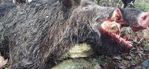 200 kilogramlık domuz avlandı