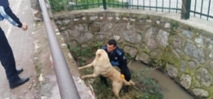 Kanala düşen köpeği zabıta ekipleri kurtardı