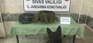 Uyuşturucu taciri Geçim'i geçemedi Diyarbakır'dan Amasya'ya uyuşturucu sevkiyatı yapan uyuşturucu taciri Sivas'ta Jandarma narkotik köpeği Geçim'i geçemedi