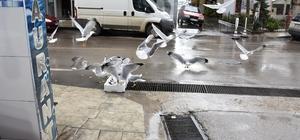 Sinop'ta martıların balık kapma yarışı