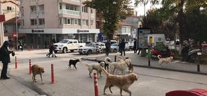 Çarşı göbeğinde sürü halinde gezen başıboş köpekler
