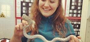 Veteriner hekimler yılanın sahibine müjdeli haberi veremedi Ultrasona alınan dişi yılan hamile çıkmadı
