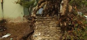 610 yıllık çınar ağacına kurtarma operasyonu