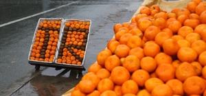 Rize'de mandalina hasadı başladı Kış aylarının gelmesiyle birlikte artan gribal enfeksiyonlara karşı Derepazarı mandalinası rağbet görüyor