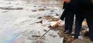 Kızılırmak'ta balık ölümü Durumu avcılar fark etti