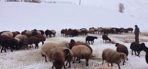 Zorlu kış şartlarında hayvancılık Bingöl'de çetin geçen kış nedeniyle, hayvancılıkla uğraşanlar, karda ot ve saman vererek beslemeye çalışıyor