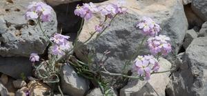 Tez çalışmasında keşfettiği bitkiye babasının ismini verdi Keşfedilen yeni gelincik türünün ismi Ricotia candiriana (Çandır Cavlağı) oldu