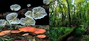 Bu mantarlar sadece Samsun'da yetişiyor Türkiye'de tespit edilen mantarlar içerisinde sadece Hacıosman Ormanı'nda bulunan 2 adet mantar türü marasmiellus candidus (Syn. marasmius candidus) ve flammulina ononidis türleri tespit edildi