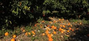(Özel) Aşırı yağış ve fırtına narenciyeyi dibine döktü, üretici perişan oldu Türkiye'nin narenciye ihtiyacının büyük bölümünü karşılayan Mersin'de, son 2 ayda peş peşe gelen aşırı yağışlar ve meydana gelen fırtınalar, hasat için bekleyen narenciyeyi dalında çürüterek dibine döktü Dalında 45 kuruşa sattıkları portakal ve mandalinanın, büyük kentlerde 3-5 lira arasında tüketiciye sunulmasından yakınan narenciye üreticisi, aşırı yağışlar ve fırtına nedeniyle ürünlerin dalında çürüyüp dökülmesi karşısında devletten borçlarına yapılandırma ya da bir yıl erteleme istiyor
