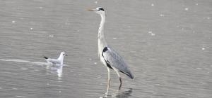 Adıyaman'da su kuşlarının sayımı tamamlandı