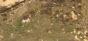 Acıkan yabani dağ keçileri ilçeye indi
