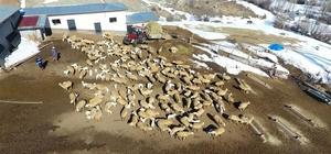 (Özel) Kuzuların annelerine kavuşma heyecanı Yüzlerce koyun arasından annelerini buldular Kuzuların heyecanı havadan görüntülendi