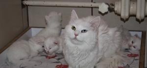 Van kedileri bu yıl erken doğum yaptı Van kedilerinin bu yılki ilk yavruları dünyaya geldi