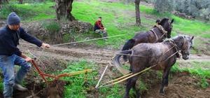 Aydın'ın verimli dağlarında karasabana alternatif bulunmadı İki atı ve çalışma kabiliyeti olanlar aylık 9-12 bin lira arasında para kazanıyor
