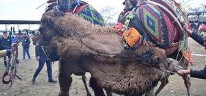 Havran deve güreşlerine ev sahipliği yaptı