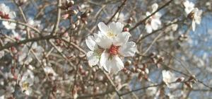 Gaziantep'te yalancı bahar Araban'da badem ağaçları şubat ayında çiçek açtı