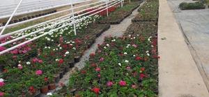 Belediye çiçek fidanlarını kendisi yetiştiriyor Simav Belediyesi Park ve Bahçeler Müdürlüğü, Eynal kaplıcalarında kendi kurduğu termal seralarında çiçek yetiştiriyor