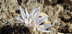 Erzurum'da baharın müjdecisi kar çiçekleri açtı Erzurum Oltu'da kar çiçekleri açtı